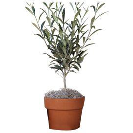 """Live 20"""" Olive Tree"""