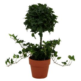 Live Ivy Topiary (Set of 2)