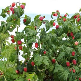 Live Heritage Red Raspberry Plants (Set of 3)