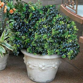 Live Potted Top Hat Blueberry Plant
