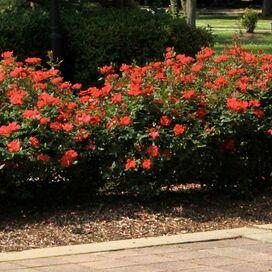 Live Spanish Sunset Rose Plant