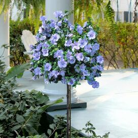 Live Blue Chiffon Rose of Sharon